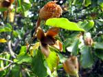 Сентябрь - месяц урожайный. Буковые орешки