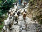 Фото - 29. Из подшерстка этих коз делают знаменитую пашмину - тончайшую нить.