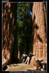 Ні, це не найбільше дерево Планети. Таких дерев там цілий ліс!