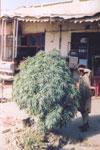 Куст конопли на базарной площади в Кандагаре